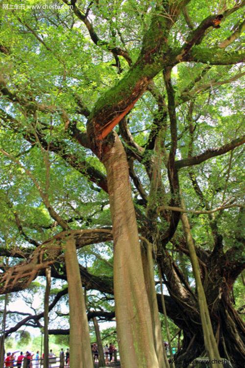 这颗大榕树的树枝,犹豫故事主角的爱意延伸至世界
