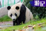 有小姐姐还有大熊猫 开斯巴鲁森林人去回归森林